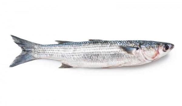 Ловим кефаль – одну из любимейших рыб крымчан
