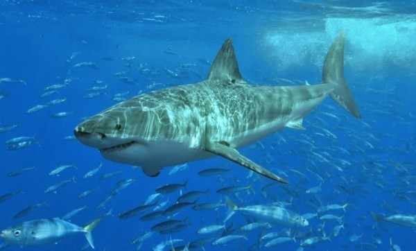 Несколько слов для тех, кто ловит акул